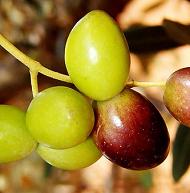 carolea-lametia-dop-cultivar